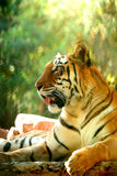 Asian beautiful tiger Royalty Free Stock Photography
