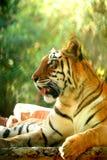 Asian beautiful tiger Royalty Free Stock Photography