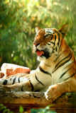 Asian beautiful tiger Stock Photography