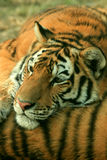 Asian beautiful tiger Royalty Free Stock Photos