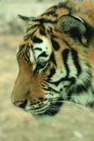 Asian beautiful tiger Royalty Free Stock Photo