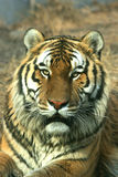 Asian beautiful tiger Stock Image