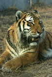 Asian beautiful tiger Royalty Free Stock Images