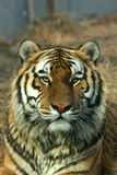 Asian beautiful tiger Royalty Free Stock Photo