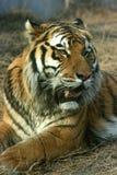 Asian beautiful tiger Stock Image