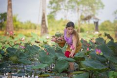 Asian beautiful woman walking in lotus field. royalty free stock photos