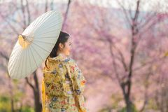Asian beautiful woman wearing traditional japanese kimono and cherry blossom in spring, Japan royalty free stock images