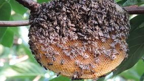 Honeycomb on inherent branches stock video footage