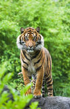 Asian- or Bengal tiger with bamboo Stock Photos