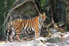 Asian- or bengal tiger standing with rock wall in background.  Stock Photo
