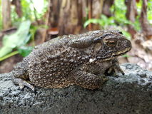 Asian big toad Stock Photography