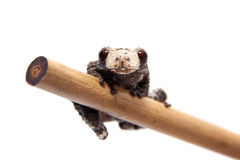 Asian bird poop frog, Theloderma albopunctata, on white Stock Images