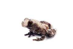 Asian bird poop frog, Theloderma albopunctata, on white Royalty Free Stock Images
