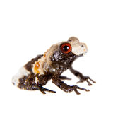 Asian bird poop frog, Theloderma asperum, on white. Asian bird poop frog, Theloderma asperum,  on white Royalty Free Stock Photo