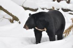 Asian black bear Royalty Free Stock Image