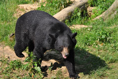 Asian black bear Stock Photos