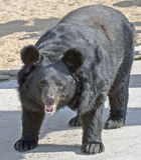 Asian black bear 2 Royalty Free Stock Photography