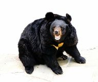 Asian black bear Stock Photo