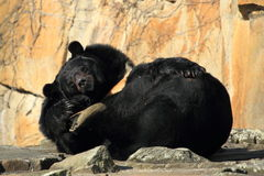 Asian black bear Royalty Free Stock Image