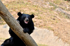 Asian black bear Royalty Free Stock Photos