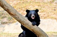 Asian black bear Royalty Free Stock Photo