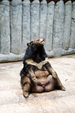 Asian black bear. Stock Image