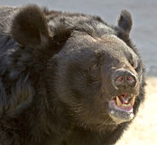Asian black bear 3 Royalty Free Stock Image