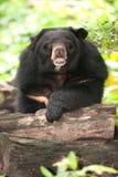 Asian black bear. Stock Photos