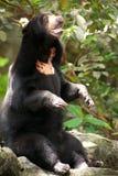 Asian black bear. Royalty Free Stock Photography