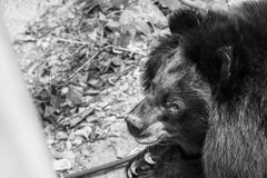 Asian black bear. Black and white royalty free stock images