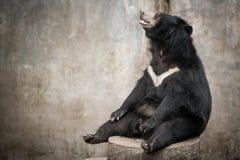 Asian black bear, asiatic black bear (selenarctos thibetanus) Royalty Free Stock Images