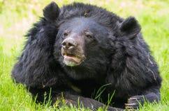 Asian black bear close-up royalty free stock images