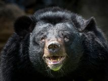 Asian black bear. Face of a  Asian black bear looking for food Royalty Free Stock Image