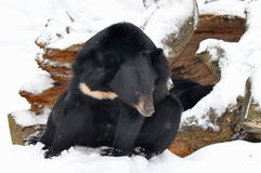 Asian black bear in front of lair Royalty Free Stock Photo