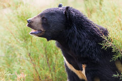 Asian Black Bear portrait Stock Photo