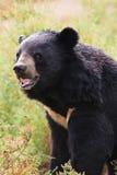 Asian Black Bear portrait Royalty Free Stock Photo