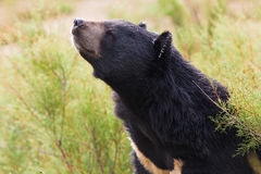 Asian Black Bear portrait Royalty Free Stock Photography