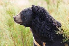 Asian Black Bear portrait Stock Images