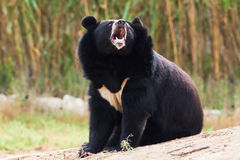 Asian Black Bear roaring Stock Photo