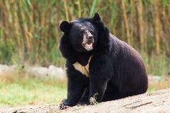 Asian Black Bear roaring Royalty Free Stock Images