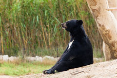 Asian Black Bear sit resting Royalty Free Stock Photo