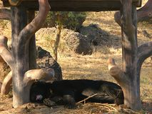 Asian Black Bear Sleeping under a Wooden Structure Royalty Free Stock Photos