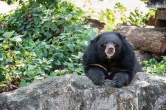 Asian black bear Stock Images