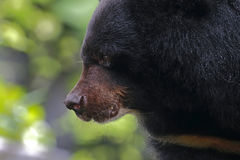 Asian black bear Ursus thibetanus Close up Head. Asian black bear Ursus thibetanus Closeup Head Stock Photo