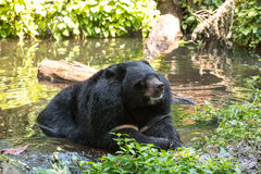 Asian black bear in the water Stock Photo
