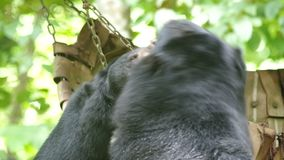 Asian black bears playing. Two Asian black bears are playing stock video footage