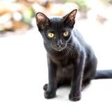 Asian black cat Stock Photography