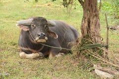 Asian Black Water Buffalo at the grass field stock image