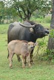 Asian Black Water Buffalo with son stock image