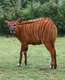 Asian Bongo Royalty Free Stock Photography